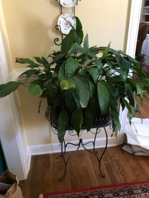 Wonderful plant stand with live Peace Lilly plant