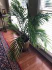 Potted palm tree 53 inches tall