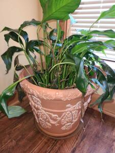 "PEACE LILLY IN 11"" TALL X 14"" DIAMETER POT"